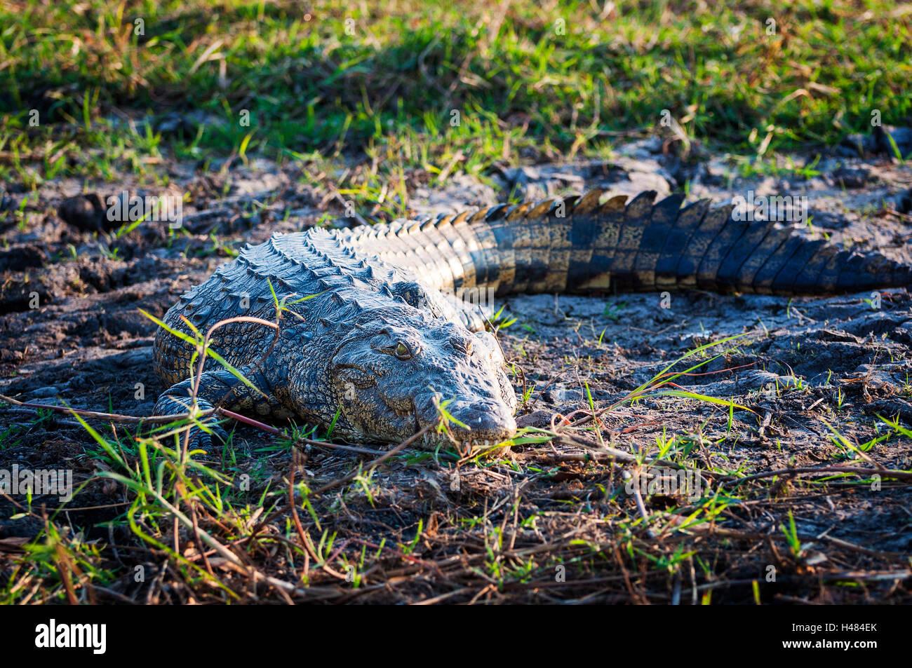 El cocodrilo del Nilo en las orillas del río Chobe, el Parque Nacional Chobe, en Botswana, África. Imagen De Stock