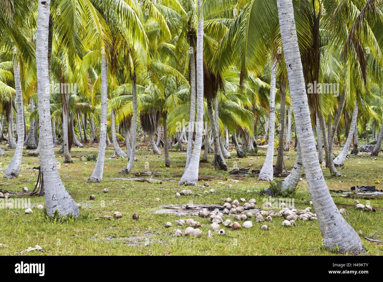 El Océano Pacífico, en la Polinesia Francesa, palmeras, cocoteros, mentira, Tikehau, cocoteros, Archipiélago Tuamotu, escenografía, isla, archipiélago, atoll, laguna, palmeras, vegetación, suelo, arroz, Foto de stock