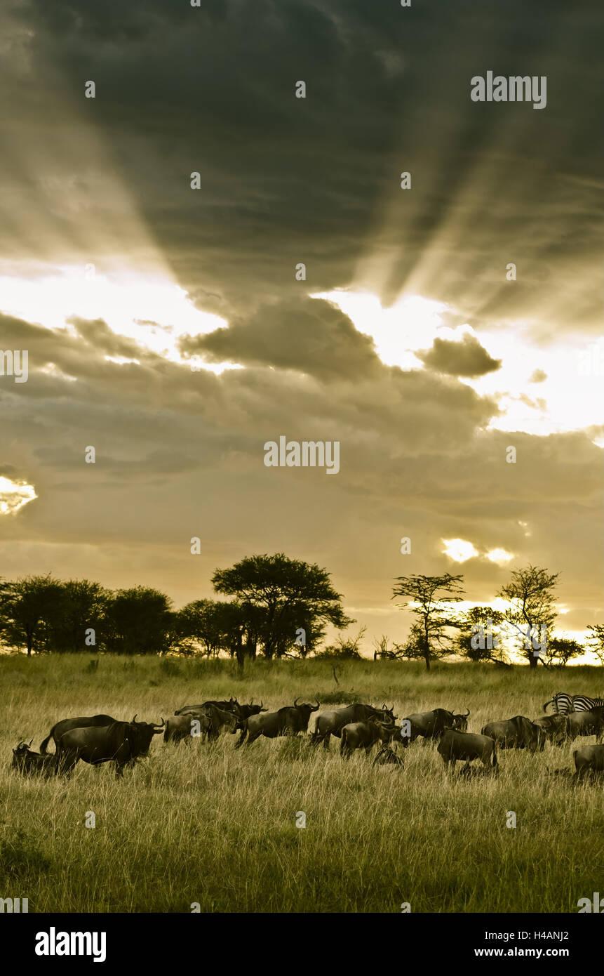 África, África Oriental, Tanzania Serengeti, vida silvestre, ñúes, cebras, Imagen De Stock