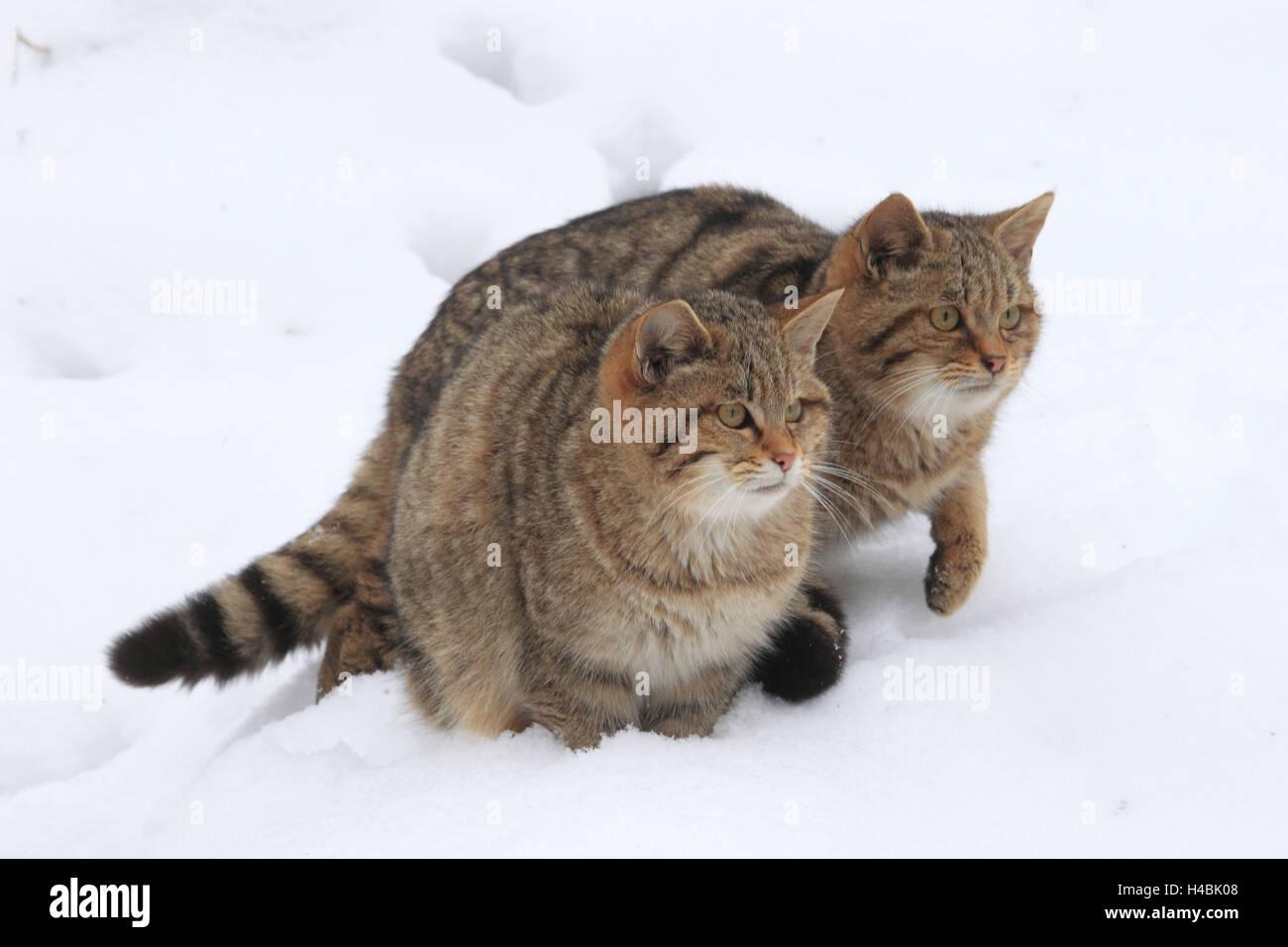 Dos gatos monteses europeos en la nieve. Foto de stock
