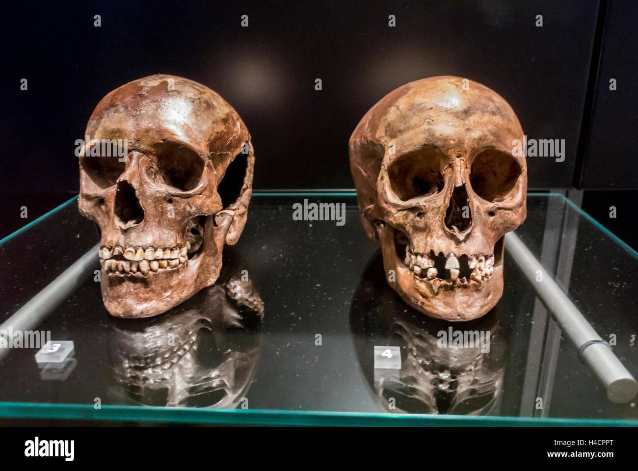Copenhague, Dinamarca, en el interior, el Museo Nacional Nationalmuseet, antiguos cráneos humanos, norte de Zelanda, 3500 años Foto de stock