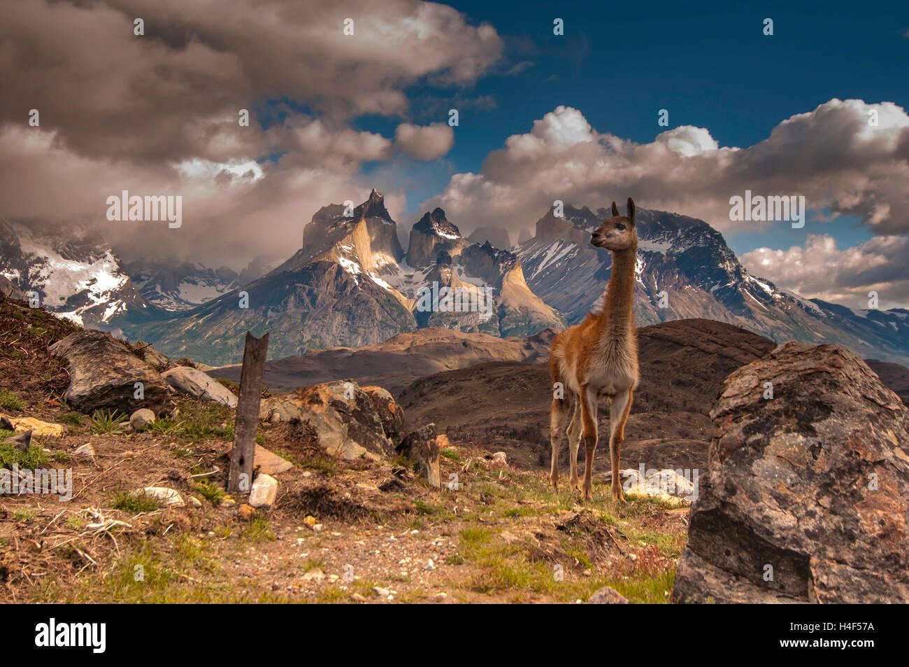 Guanaco en el Parque Nacional Torres del Paine, Magallanes, Chile. Parque Nacional Torres del Paine Imagen De Stock