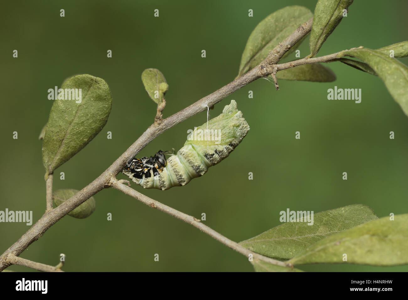 Papilio polyxenes (especie), Caterpillar pupating en chrysalis, la serie Hill Country, Texas, EE.UU. Foto de stock