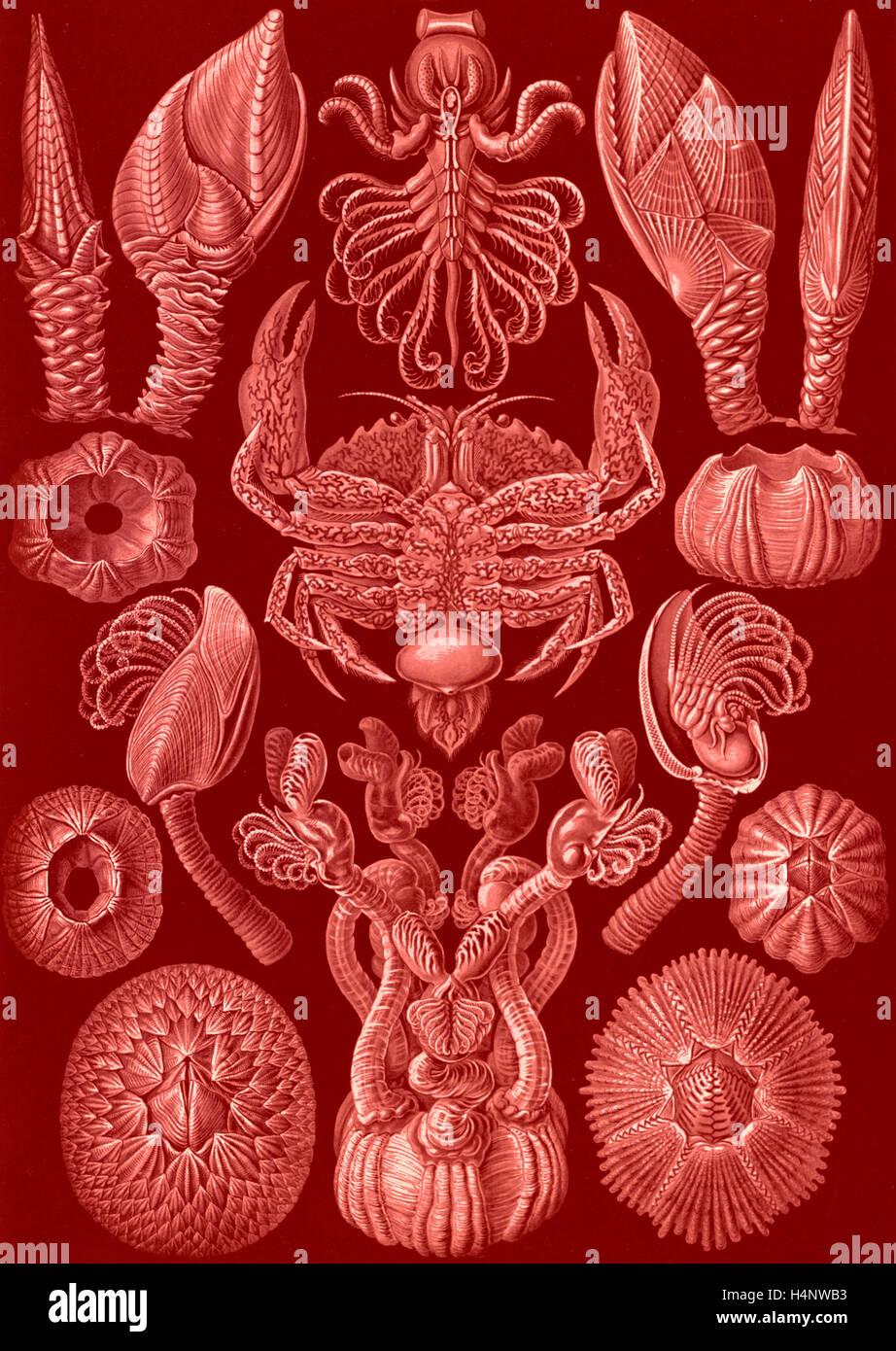 La ilustración muestra los percebes. Cirripedia. - Rankenkreble, 1 : impresión fotomecánica ; hoja 36 x 26 cm., 1904. Ernst Haeckel Foto de stock