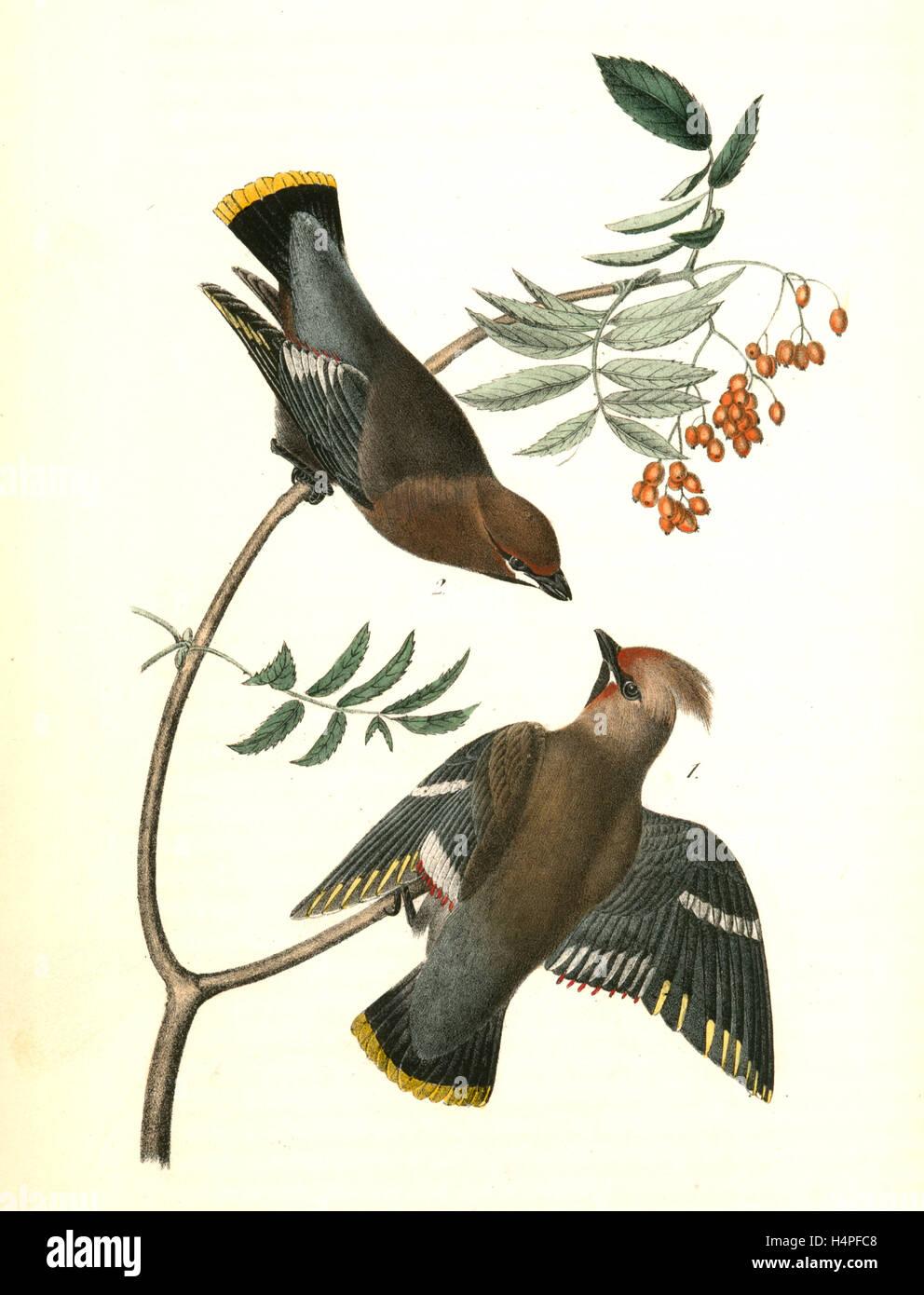 Black-throated cera-ALA, o Bohemian Chatterer. 1. Macho. 2. Hembra. Servicio Canadiense (árbol), John James Imagen De Stock