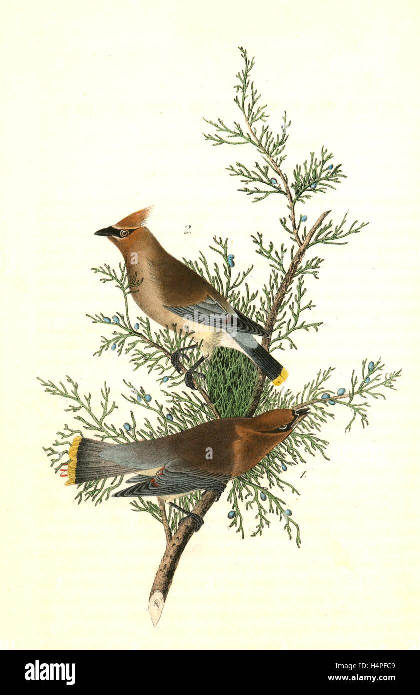 Cedar Ave, Cedro o cera-ALA. 1. Macho. 2. Hembra. (Cedro Rojo. [Juniperus Virginiana]), John James Audubon, 1785 Imagen De Stock