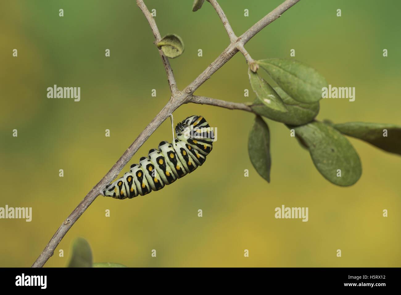 Papilio polyxenes (especie), Caterpillar pupating en chrysalis, Hill Country, Texas, EE.UU. Foto de stock
