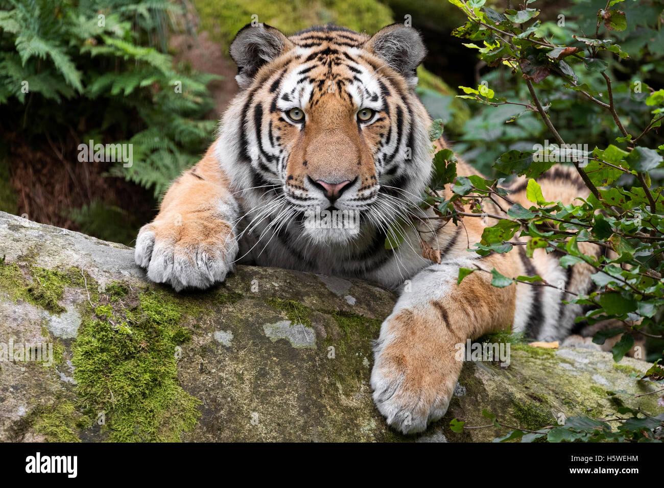 Tigre de Amur Imagen De Stock