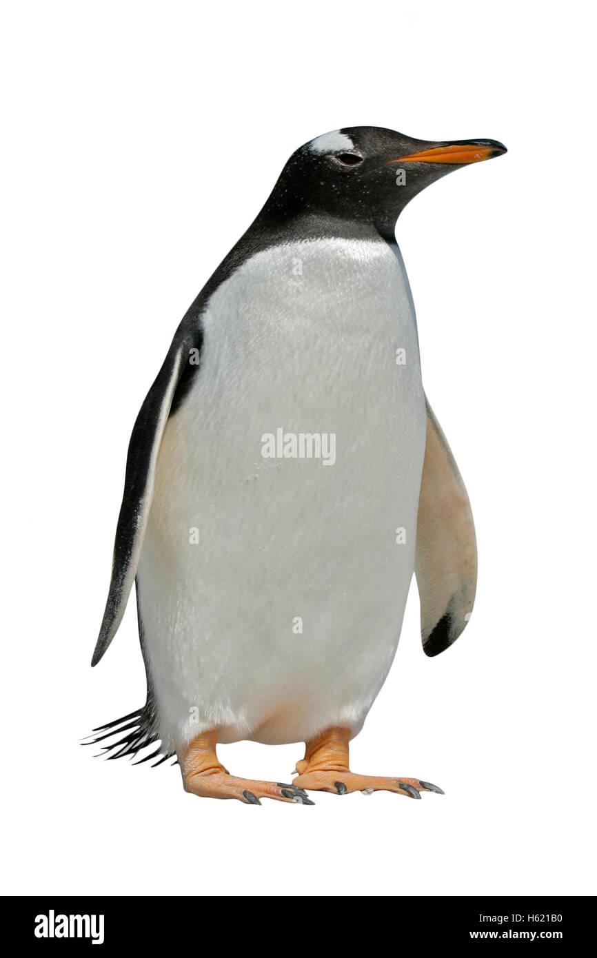 , Pingüinos Pygoscelis papua, única ave por el agua, Las Malvinas Imagen De Stock