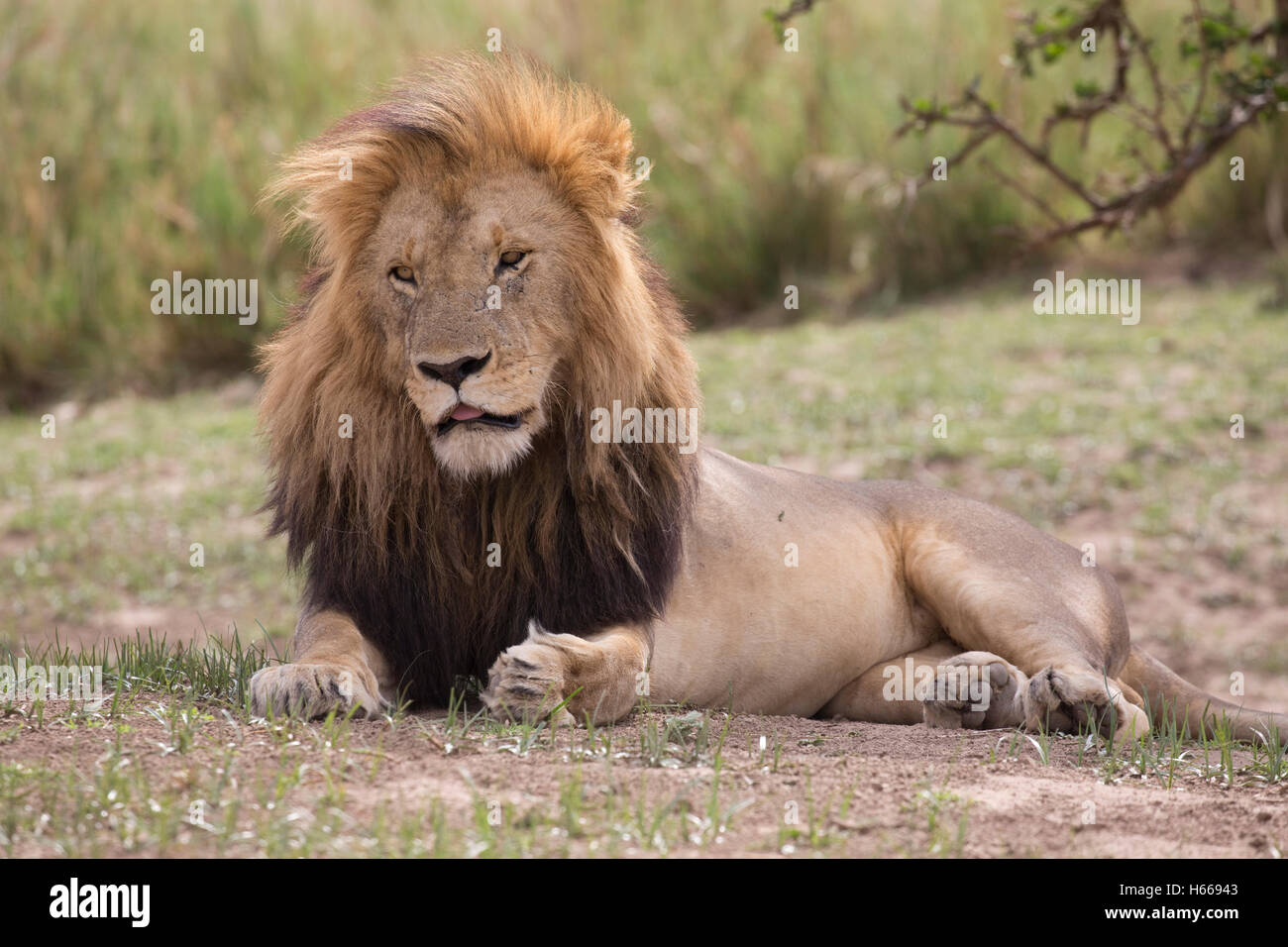 Gran macho solitario aguarï African Lion descansando Panthera leo Masai Mara Kenya Imagen De Stock