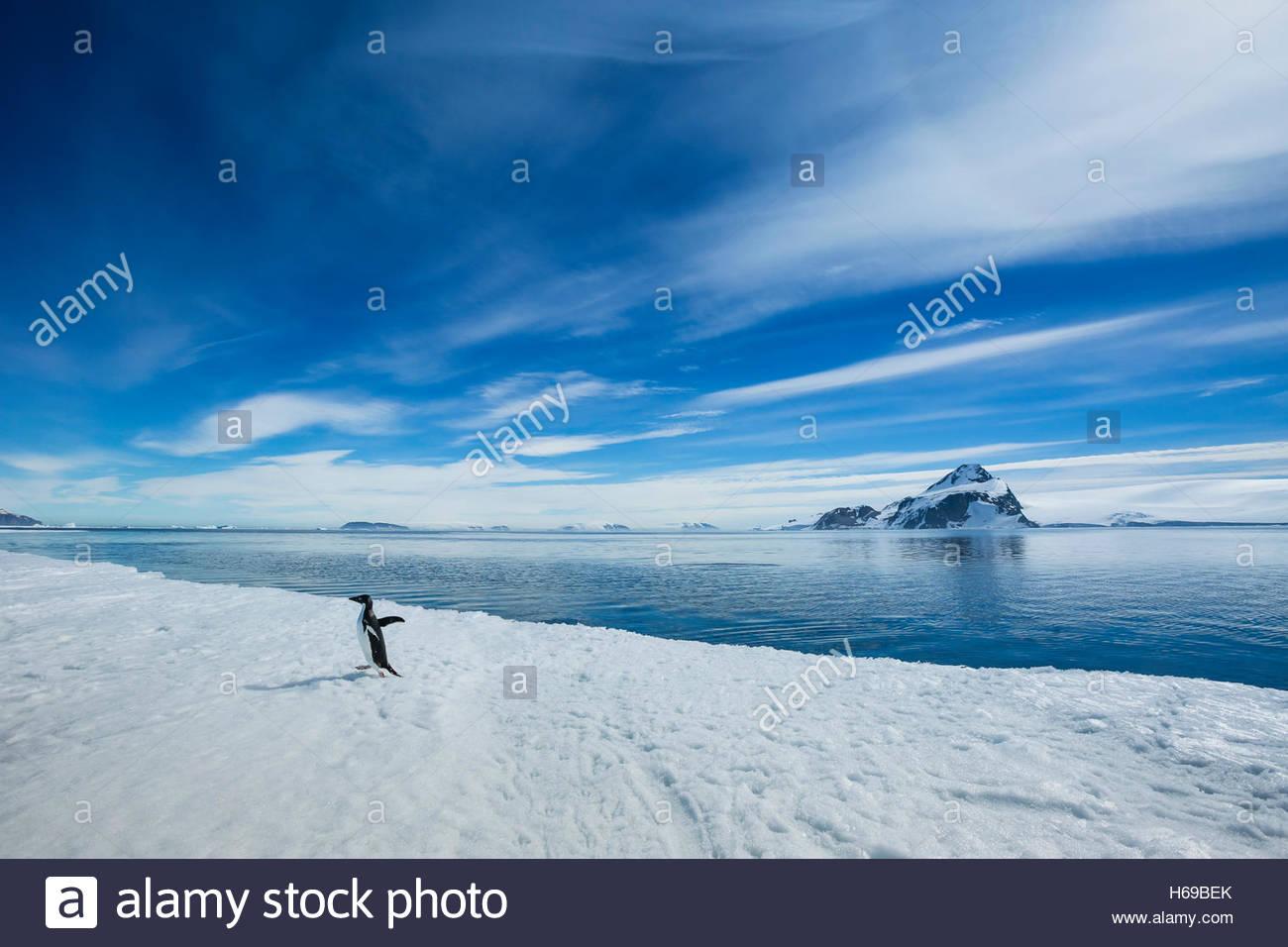 Un pingüino Adelia camina sobre el hielo polar en sonido activa cerca del Mar de Weddell en la Antártida. Imagen De Stock