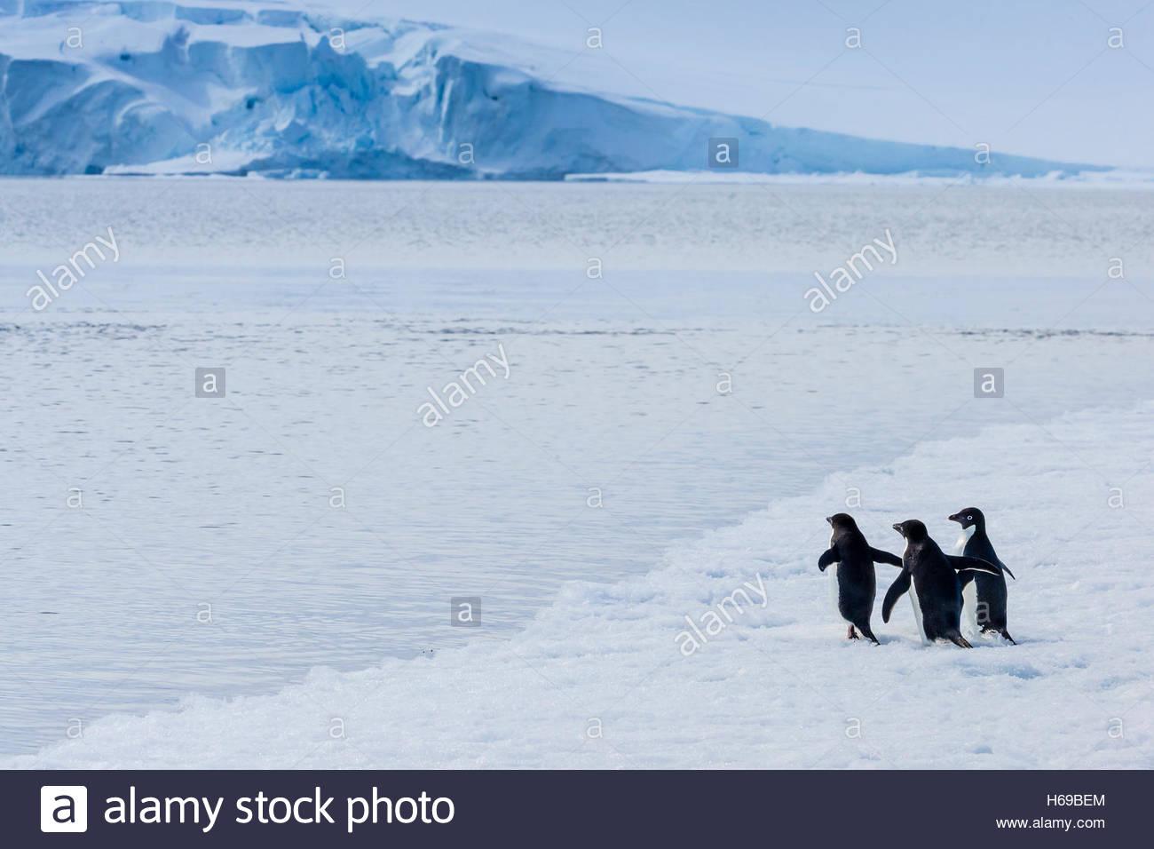 Pingüinos Adelia que caminar sobre el hielo en sonido activa cerca del Mar de Weddell en la Antártida. Imagen De Stock