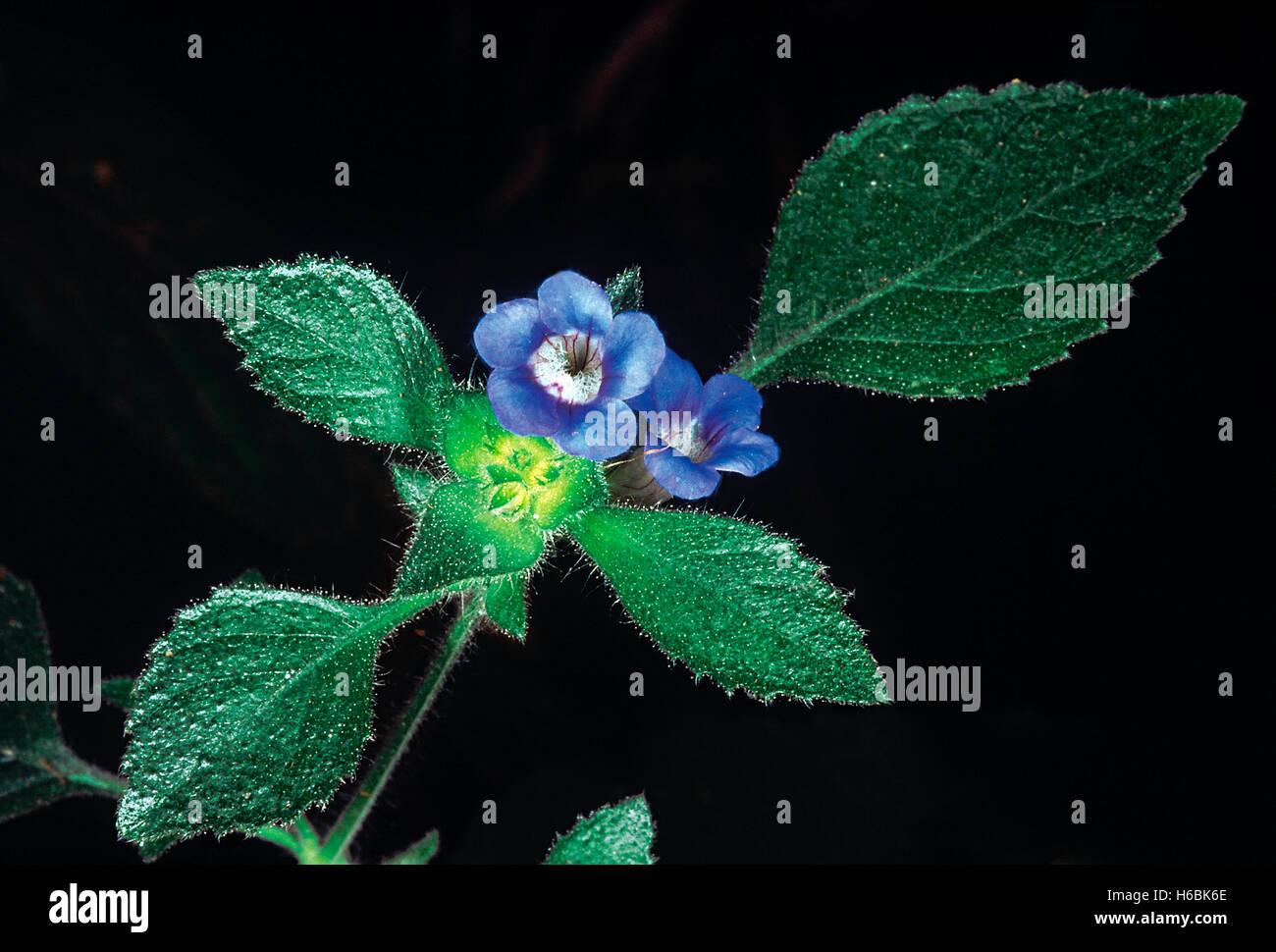 Hemigraphis latebrosa. Familia: acanthaceae. una pequeña hierba con pelos glandulares cerca de la inflorescencia. Imagen De Stock