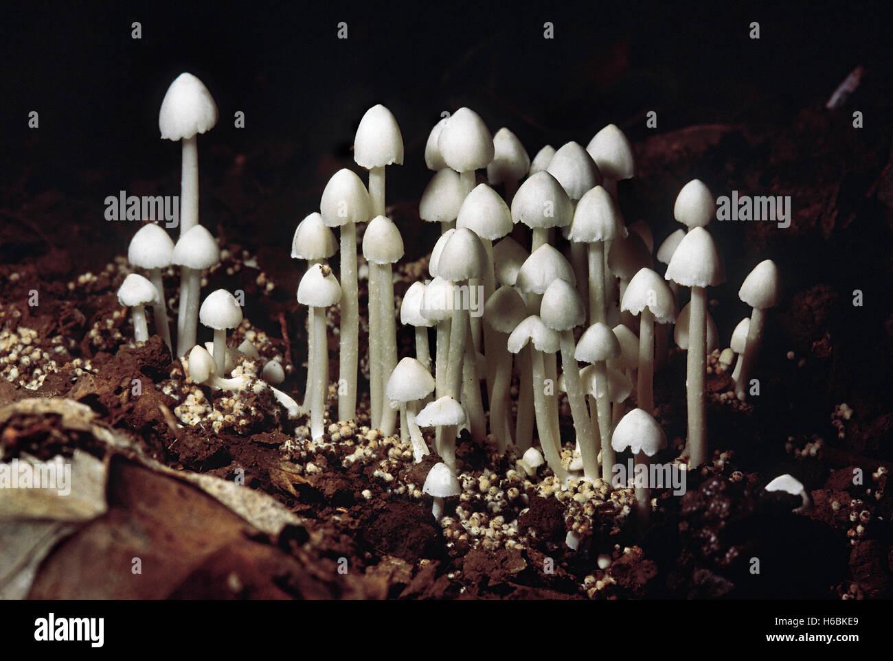 Termitomyces sp. termita de setas (pequeño). Clase: homobasidiomycetes . series: hymenomycetes. Orden: Agaricales. Foto de stock