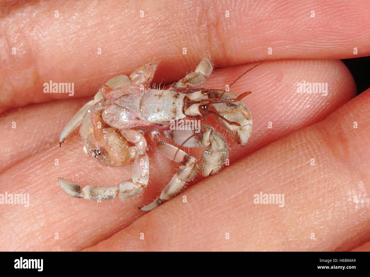 Un cangrejo ermitaño sin su envoltura temporal. el último par de patas son especialmente modificado para ayudarles a retener a la shell. Foto de stock