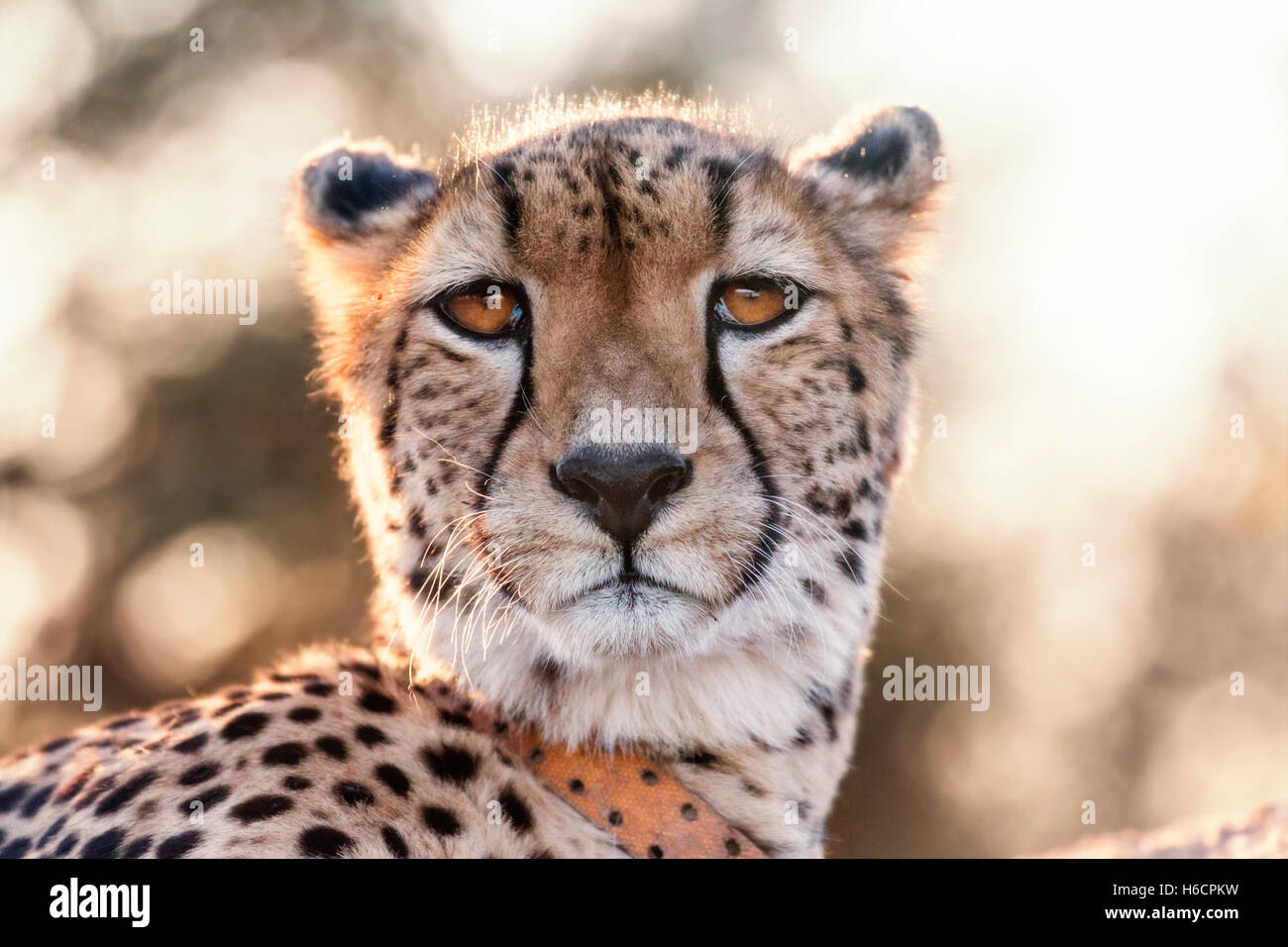Crisp cálida foto de guepardo con un remitente mirando la cámara Imagen De Stock