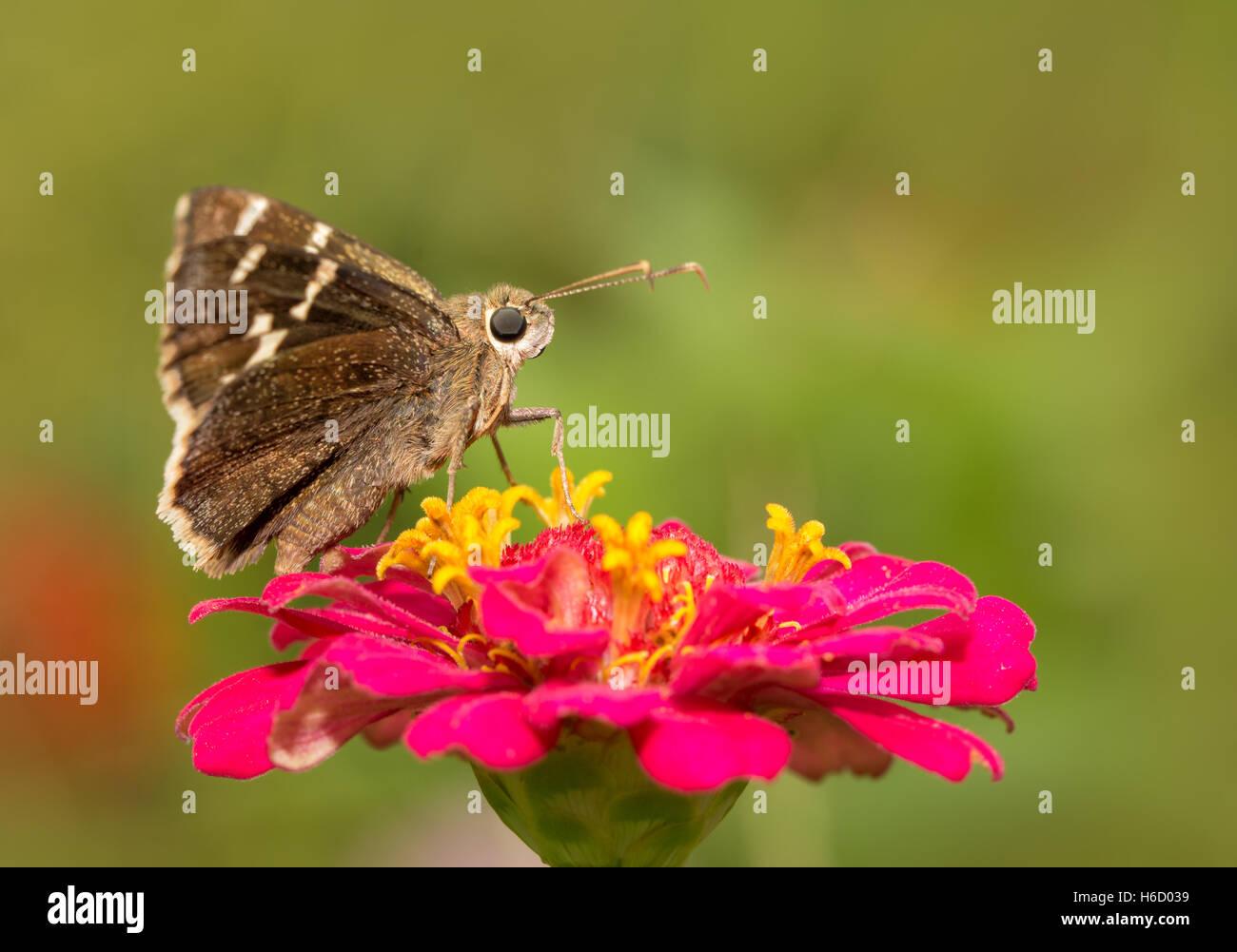 Mariposa Cloudywing sur descansa sobre un hot pink Zinnia flor Foto de stock