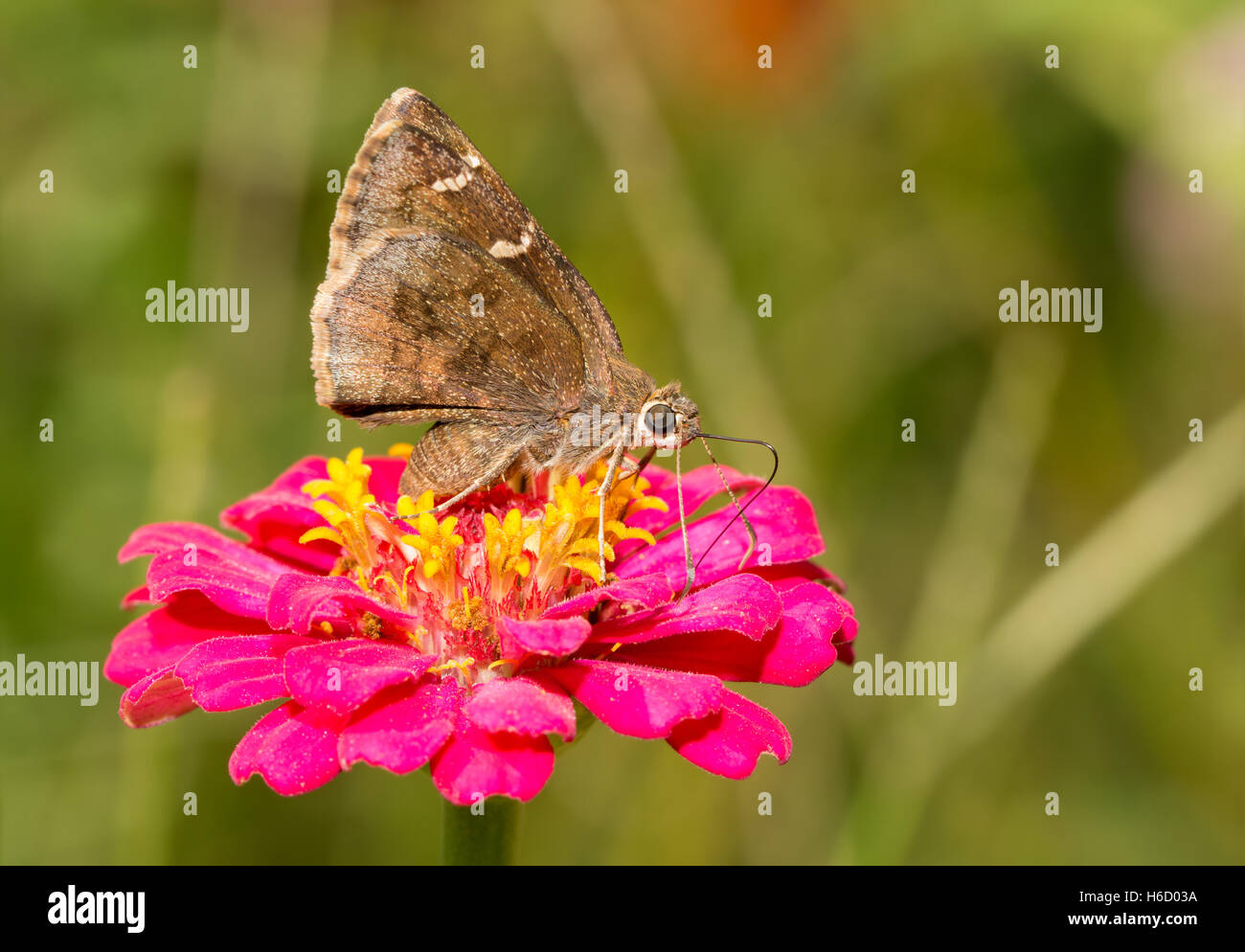 Sur alimentándose de una mariposa Cloudywing Zinnia flor rosa Foto de stock