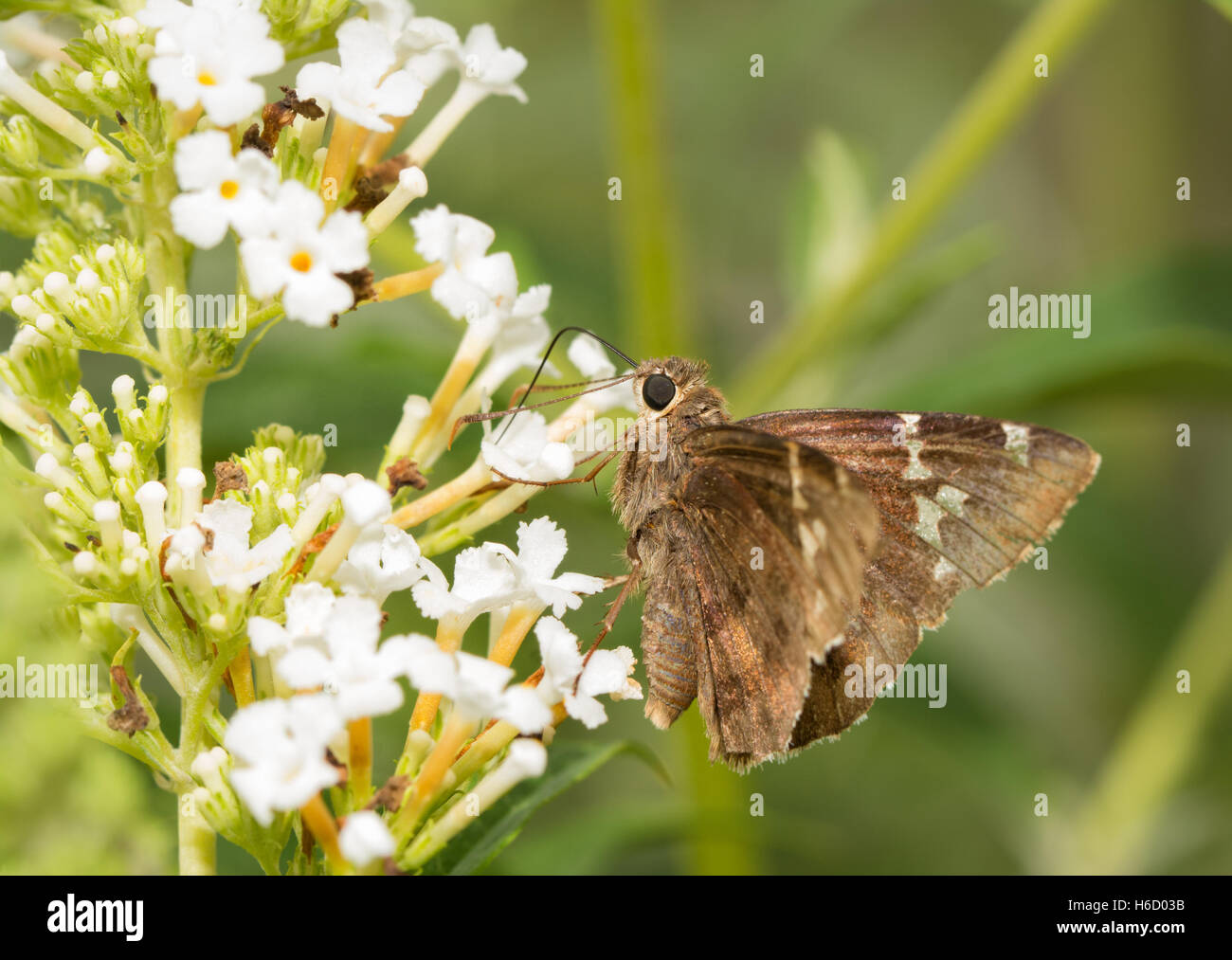 Southern Cloudywing mariposa sobre flores blancas de Buddleia Foto de stock