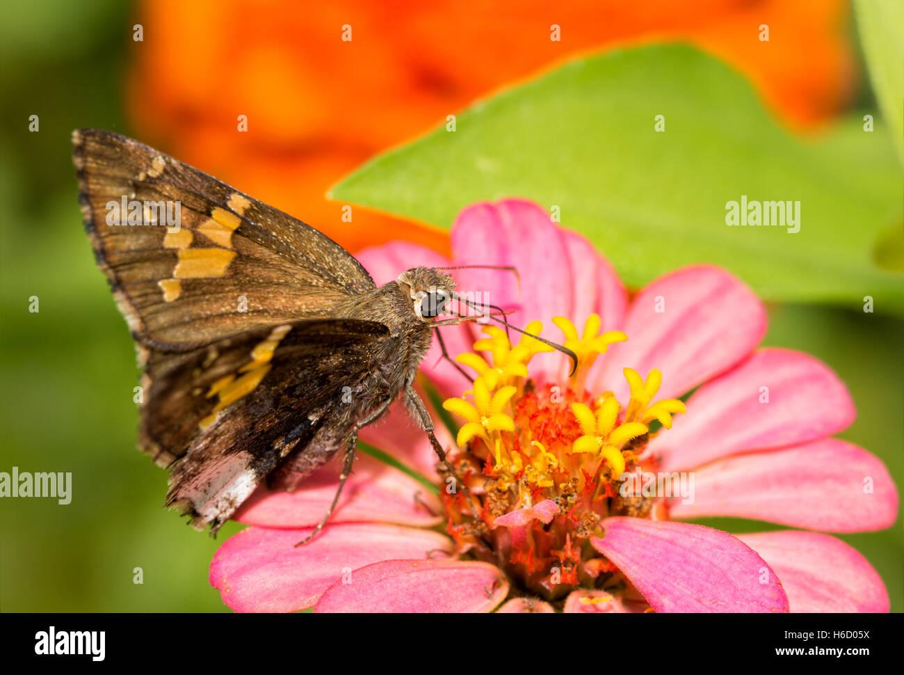 Borde canosos butterfly alimentándose de rosa flores Zinnia Foto de stock