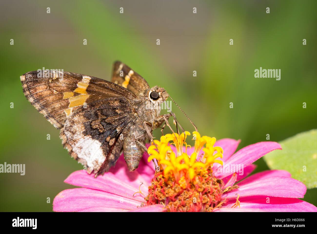 Achalarus lyciades, Borde canosos mariposa sobre una rosa Zinnia Foto de stock