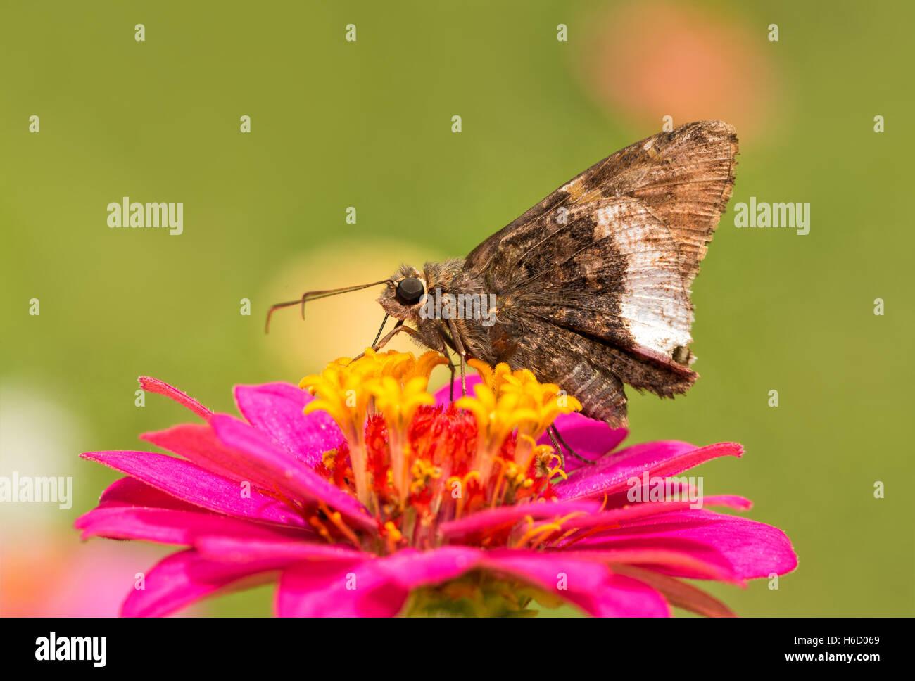 Borde canosos mariposa sobre una rosa brillante Zinnia en jardín de verano Foto de stock