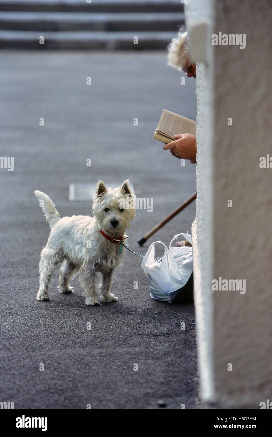 El West Highland White Terrier, conocido comúnmente como el Westie o Westy. Great Yarmouth. Inglaterra Foto de stock