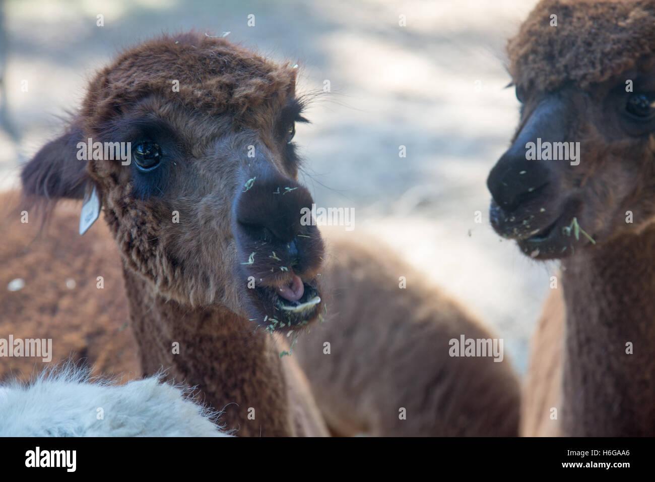La alpaca (Vicugna pacos) en una granja en Nueva Gales del Sur, Australia Foto de stock
