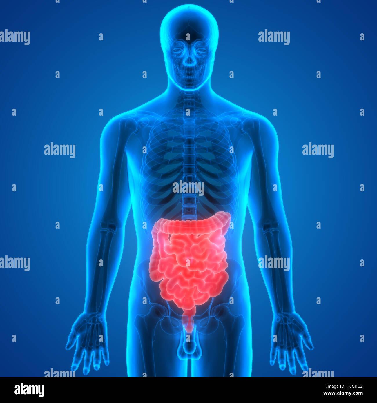 Human Large Intestine Imágenes De Stock & Human Large Intestine ...