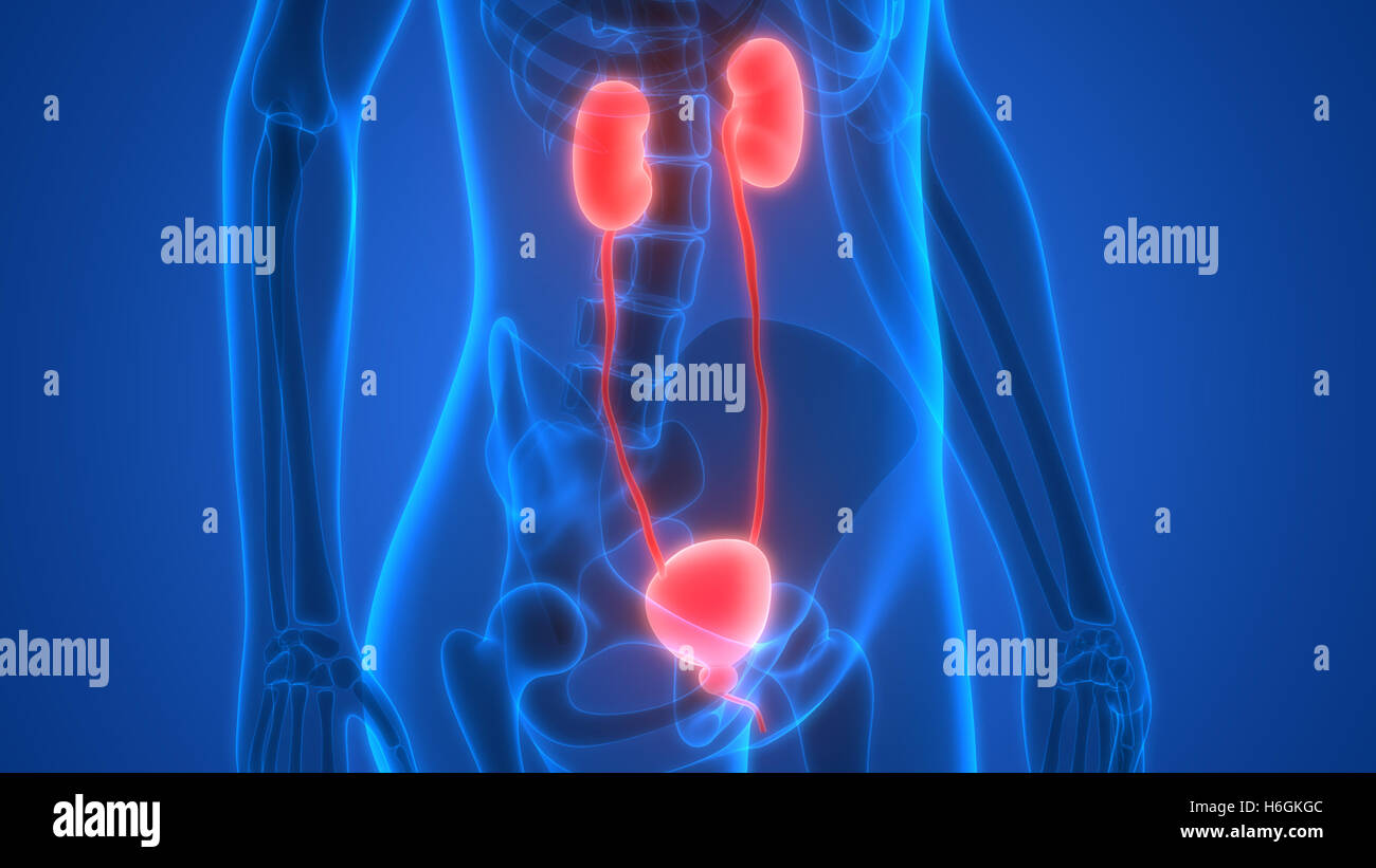 Urinary System X Ray Imágenes De Stock & Urinary System X Ray Fotos ...