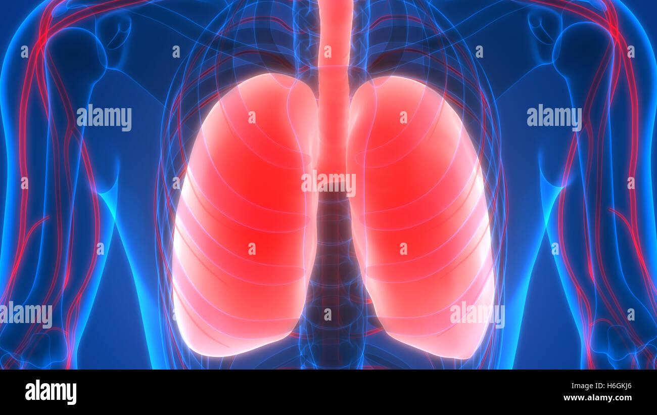 Magnífico Diagrama De Pulmones Humanos Viñeta - Imágenes de Anatomía ...