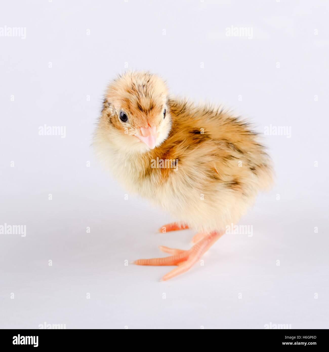 Foto de cuadrados pequeños de pollo de codorniz. Pollo de codorniz ...