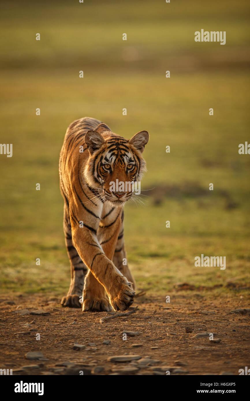 Tigre en una hermosa luz dorada en Ranthambhore Parque Nacional en la India. Foto de stock