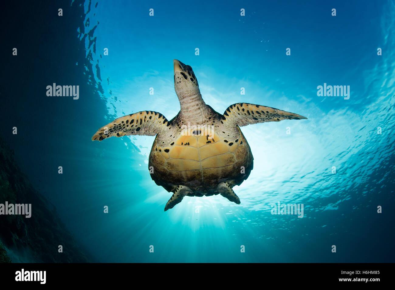 Una tortuga carey nada en claro, azul agua en Raja Ampat, Indonesia. Este raro reptil es una especie en peligro Imagen De Stock