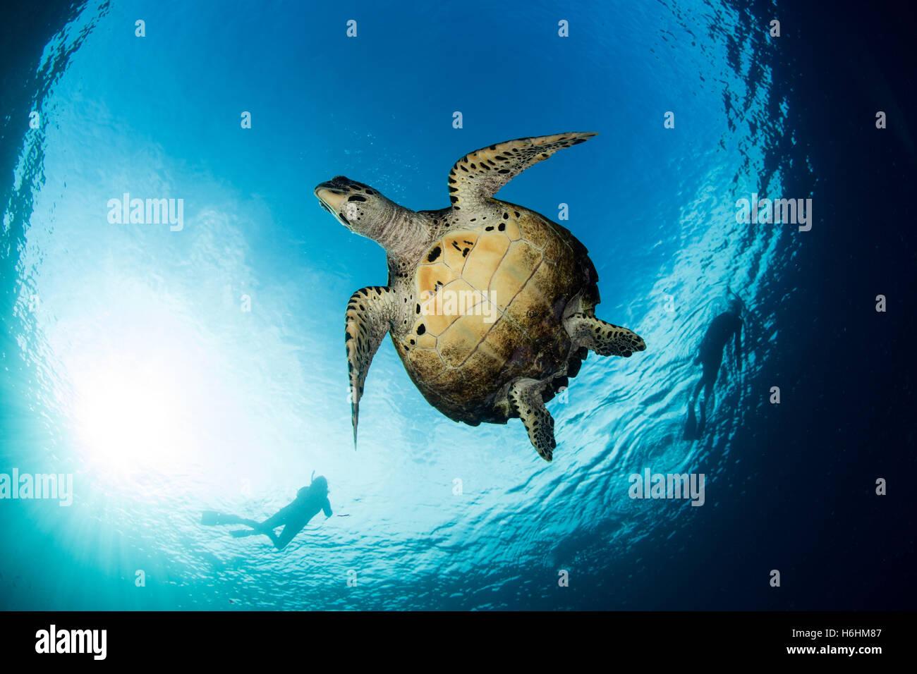 Una tortuga carey nadar en las azules aguas del océano Pacífico tropical. Este reptil marino es una especie Imagen De Stock