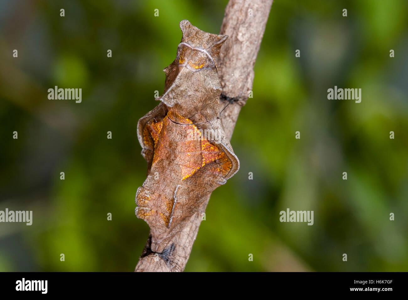 Battus polydamas polydamas Papilio canadensis gomez Farias, Tamaulipas, México, 26 de enero de 2004, justo Imagen De Stock