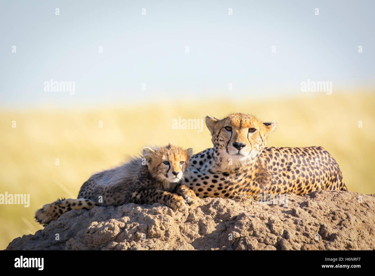 Wild Cheetah madre con lindo pequeño Cub, Acinonyx jubatus, Reserva Nacional de Masai Mara, Kenia, África Oriental Foto de stock