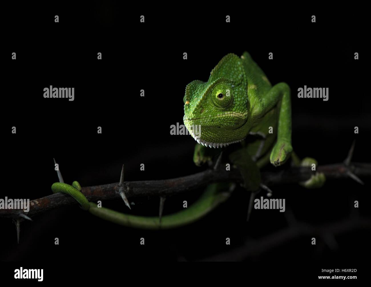 La imagen de un camaleón (Chamaeleo zeylanicus) fue tomada cerca de Pune, India Imagen De Stock