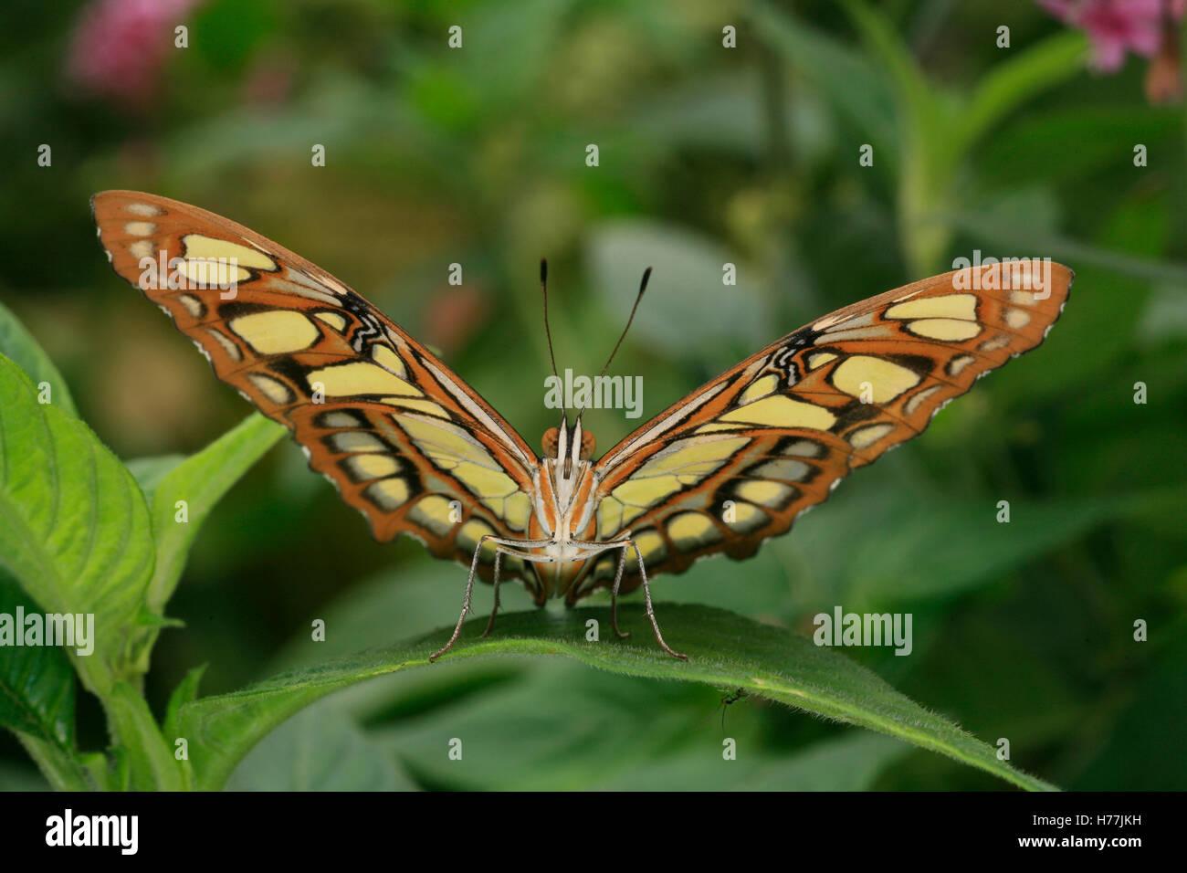 Malaquita Siproeta stelenes (mariposas), Finca de Mariposas, Monteverde, Costa Rica. Foto de stock