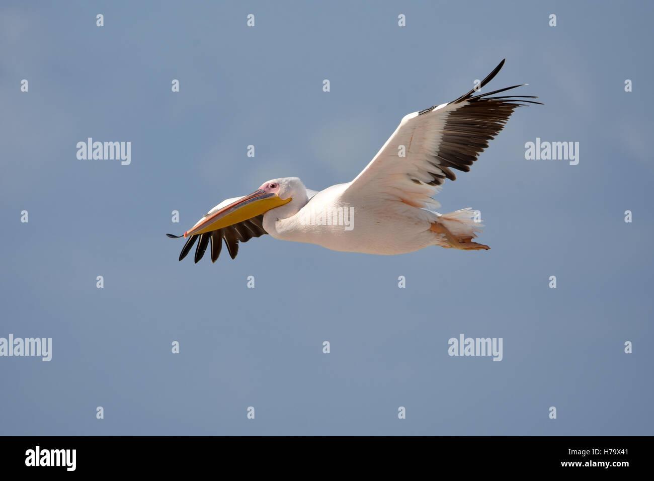 Gran pelícano blanco volando, vista lateral Imagen De Stock