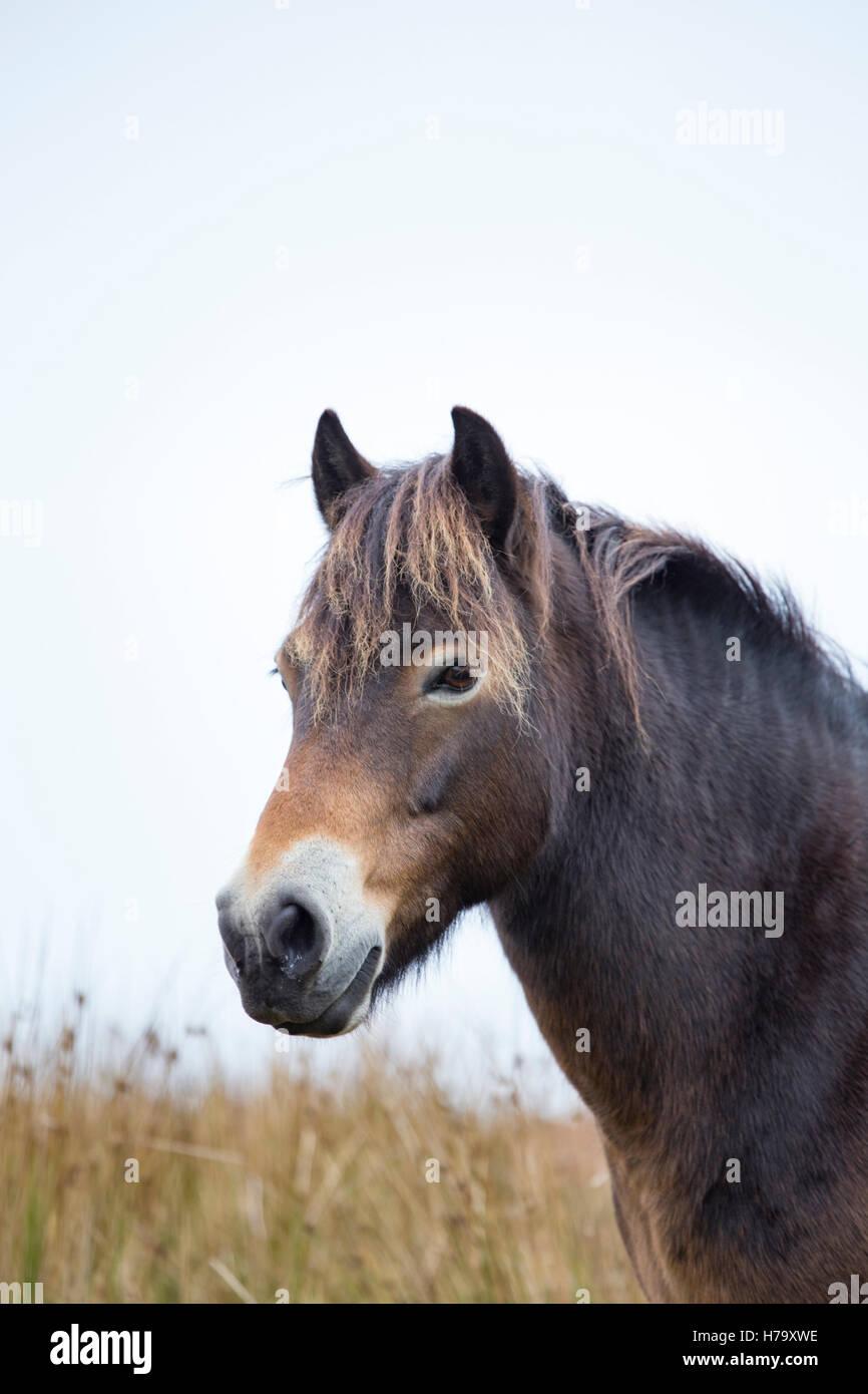 Exmoor pony, Exmoor National Park, Somerset, Inglaterra, Reino Unido. Imagen De Stock