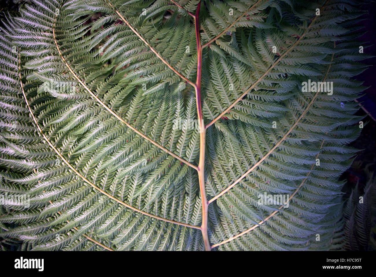 Resumen Antecedentes hojas de helechos tropicales de tallo verde Imagen De Stock
