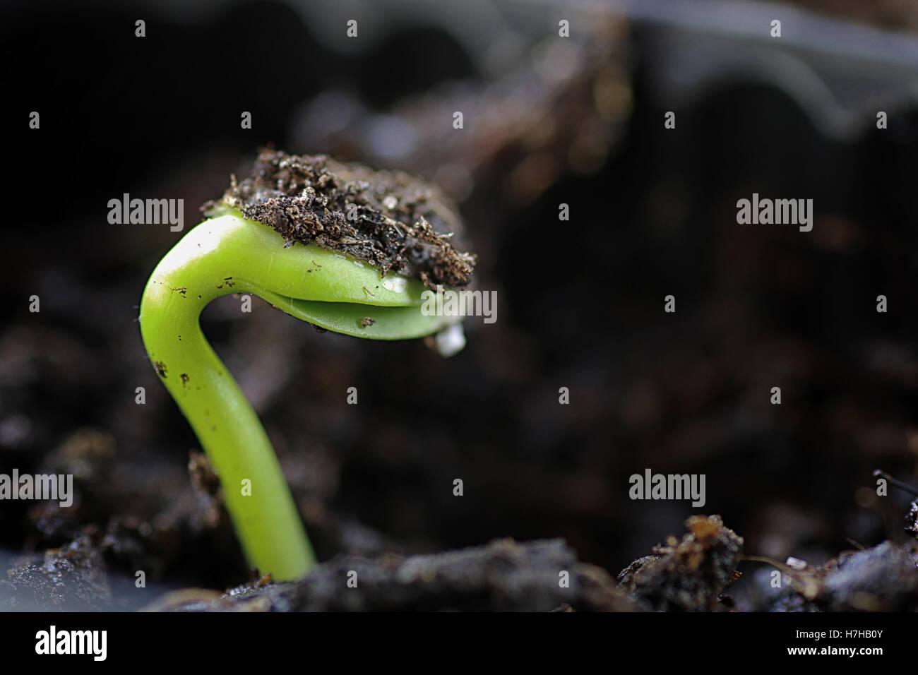 A partir de semillas germinadas pequeños Imagen De Stock