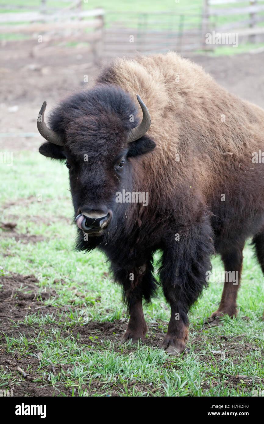 El búfalo bison planteadas en un rancho para el consumo comercial. Pierz MN Minnesota EE.UU. Imagen De Stock