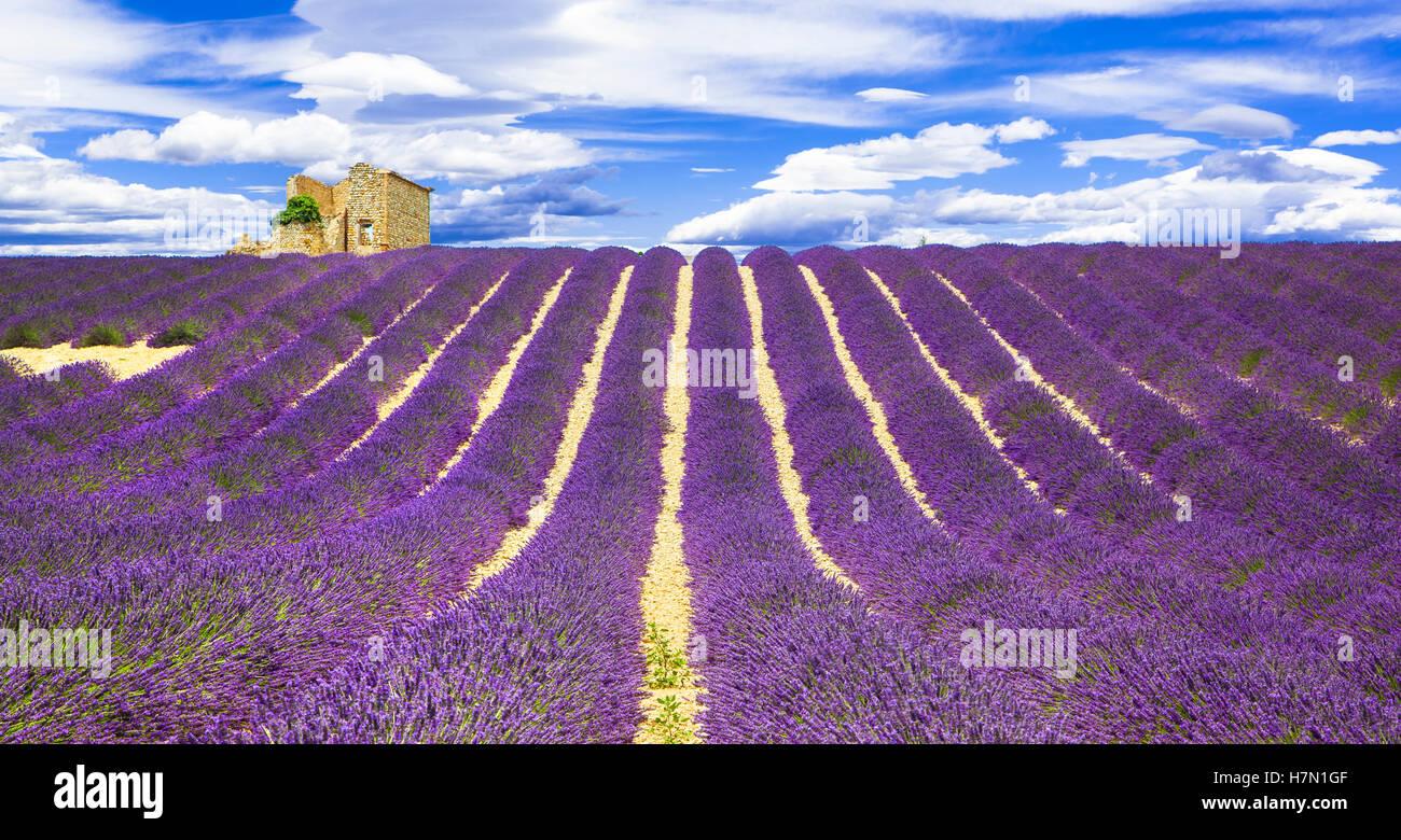 Hermosa flor violeta filas de lavande en Provence, Francia Imagen De Stock