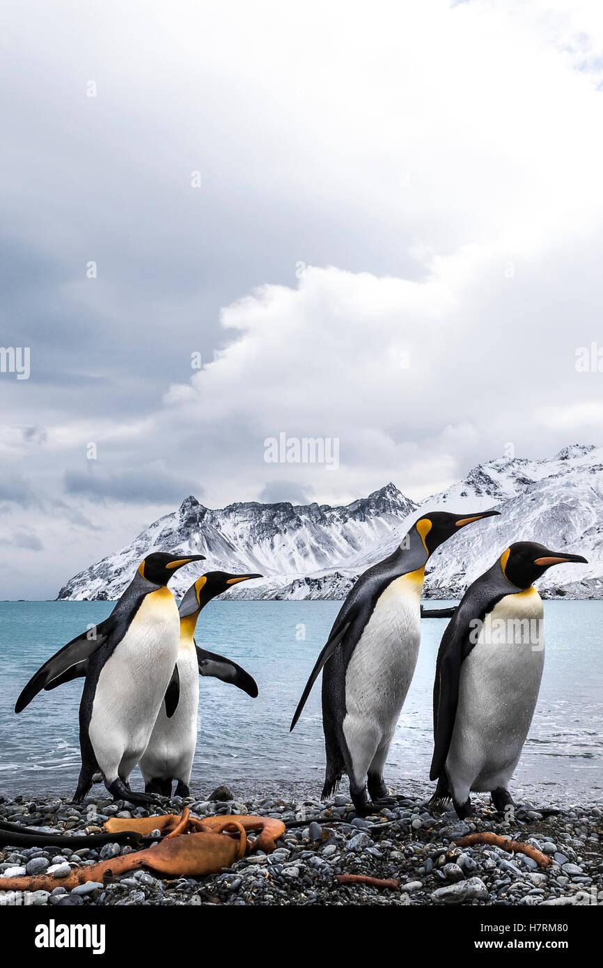 Cuatro pingüinos rey (Aptenodytes patagonicus) en una playa caminando en una fila Foto de stock
