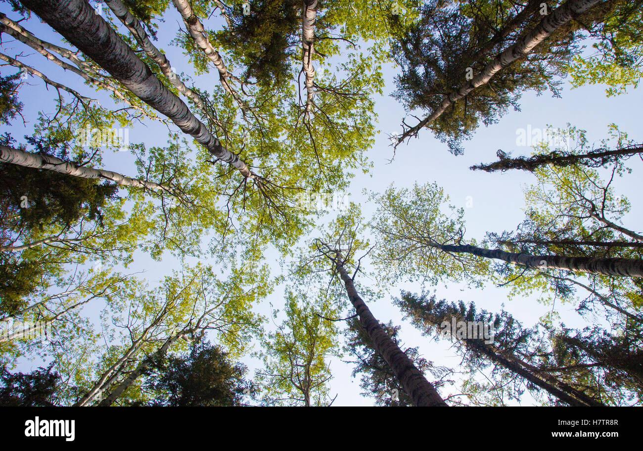 Iluminación de luz a la copa de los árboles en un bosque alto Imagen De Stock