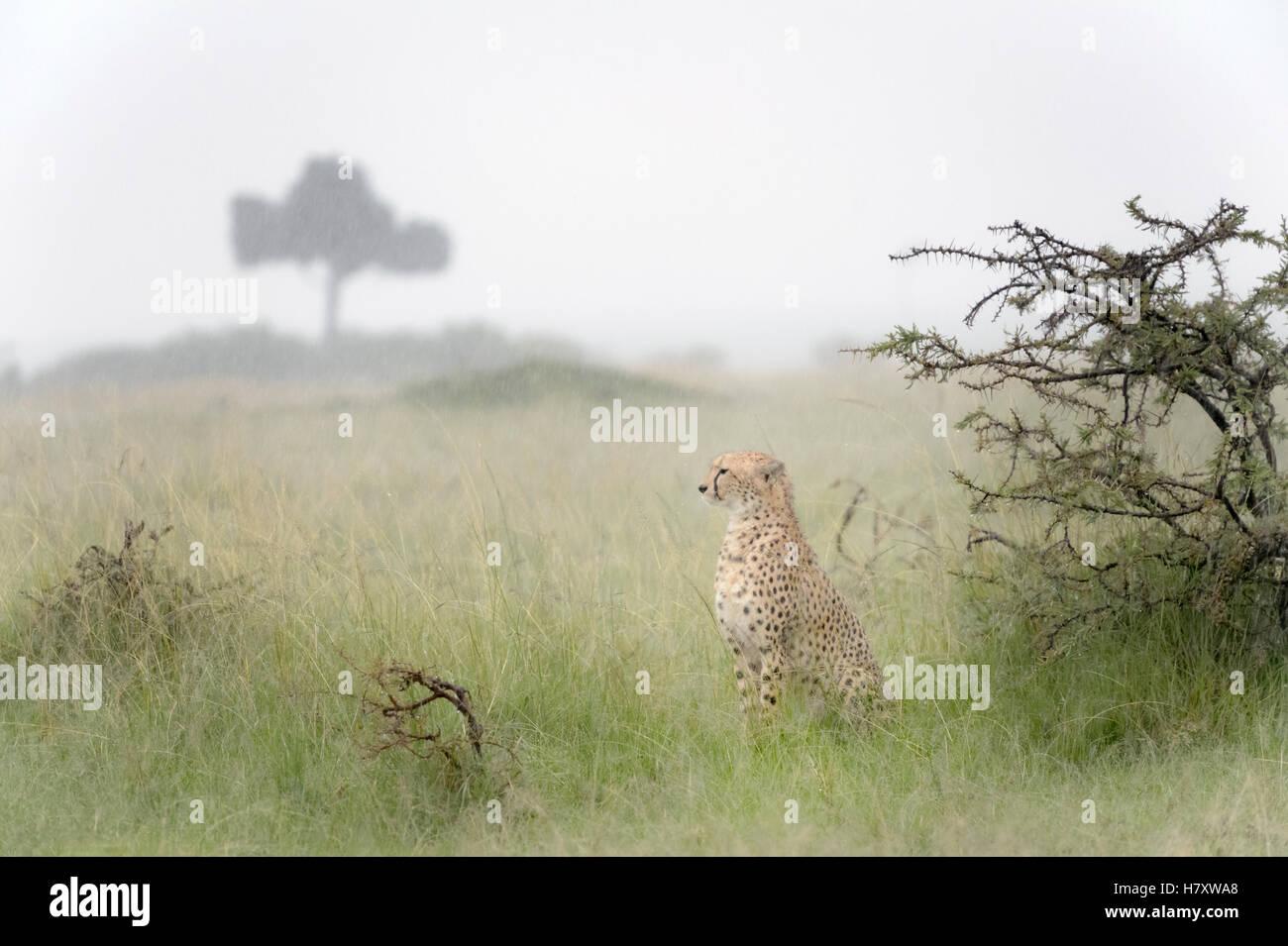 Guepardo (Acinonix jubatus) sentado en la sabana durante las lluvias, Reserva Nacional Maasai Mara, Kenia Imagen De Stock