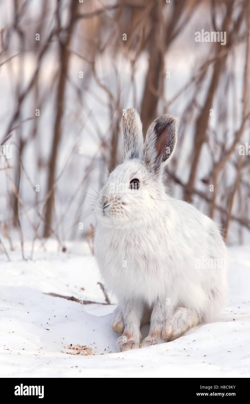 Snowshoe hare o variando la liebre (Lepus americanus) en invierno en Canadá Imagen De Stock
