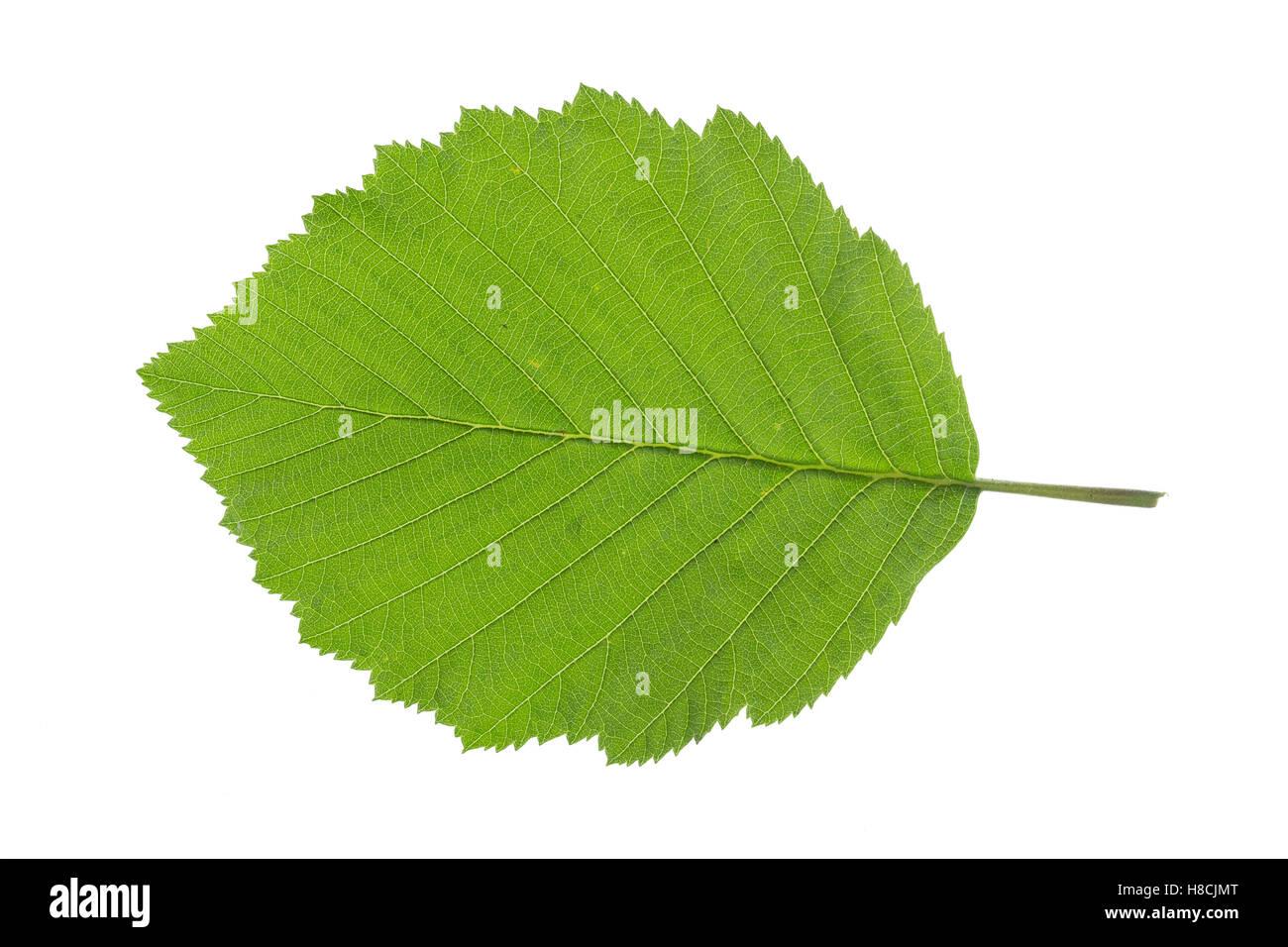 Grau-Erle, Grauerle, Erle, Alnus incana, aliso Gris, Gris Aliso, Aulne blanc. Blatt, Blätter, hojas, hojas Foto de stock
